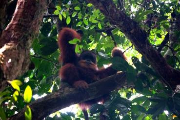 Big Male Orangutan